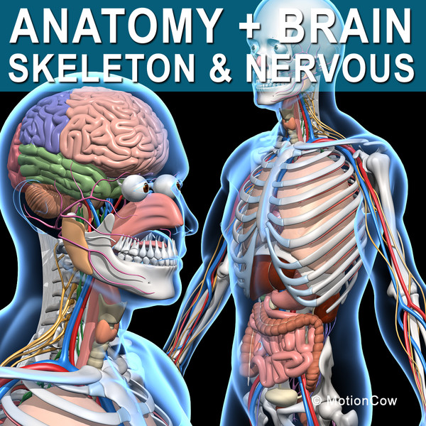 c4d human anatomy nervous systems