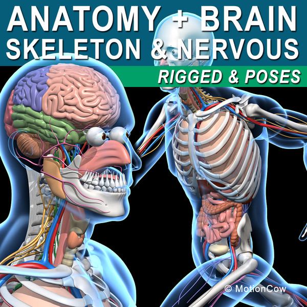Skeleton, Anatomy & Nervous System ( Rigged )