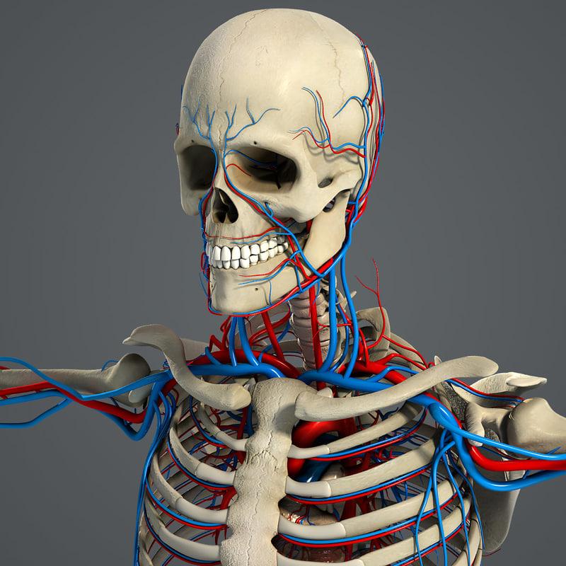 Male_Circulatory_Skeletal_01.jpg