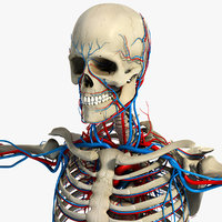 Circulatory and Skeletal System Anatomy (Textured)