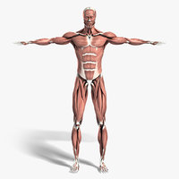 medically anatomically human muscular max