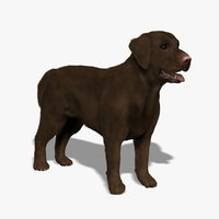 3d model labrador chocolate dog -