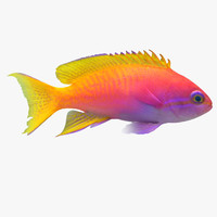 Neon Anthias