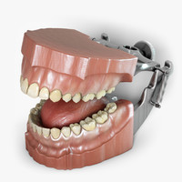 3d model typodont orthodontics dental