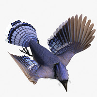 3d model of blue jay 1
