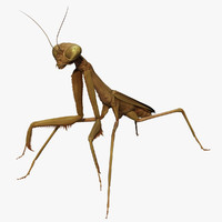 california praying mantis - obj