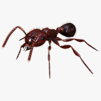 Red Fire Ant - Solenopsis Invicta (Deluxe)