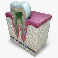 3d teeth diagram