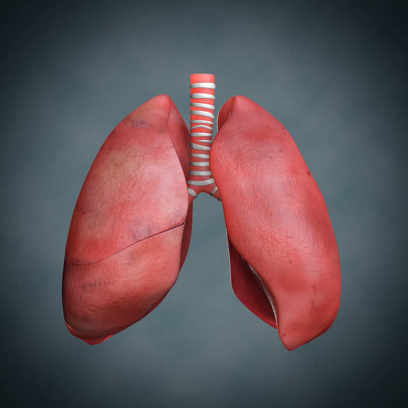 lungs anatomy 3d model