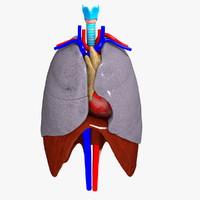 human thorax organs 3d c4d