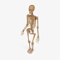 accurate male human skeleton 3ds
