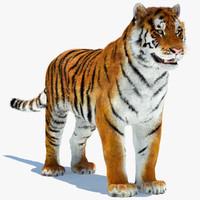 amur siberian tiger 3d max