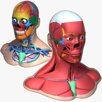 male head anatomy skeleton 3d model