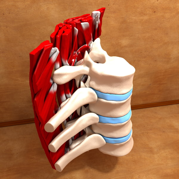 c4d human bones parts - Ultimate Human Spine (Part of)... by scyrus