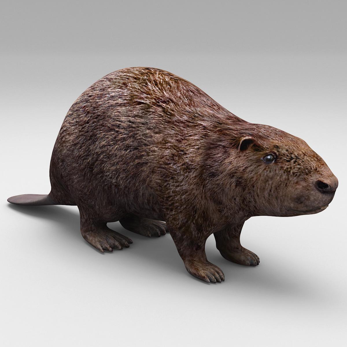 Beaver_0000_.jpg