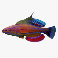 Flasher Wrasse(1)