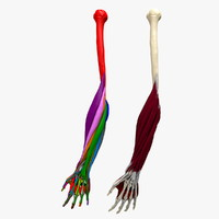 Ultimate Human Hand And Forearm