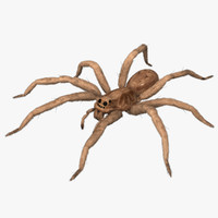 3d model lycosa tarantula wolf spider animation