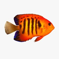 3ds flame angelfish
