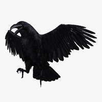 Corvus Corax 'Common Raven'