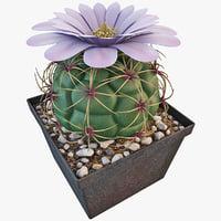 3d gymnocalycium riograndense cactus plant