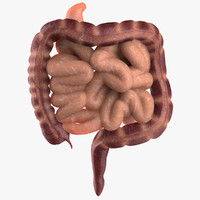 3d intestine small large model