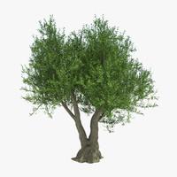 olie tree
