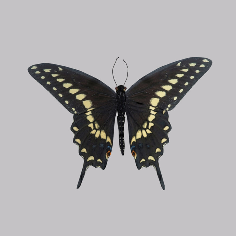 Black_Swallowtail_Butterfly_2.jpg