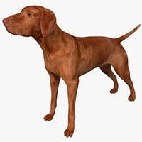 3d vizsla dog model