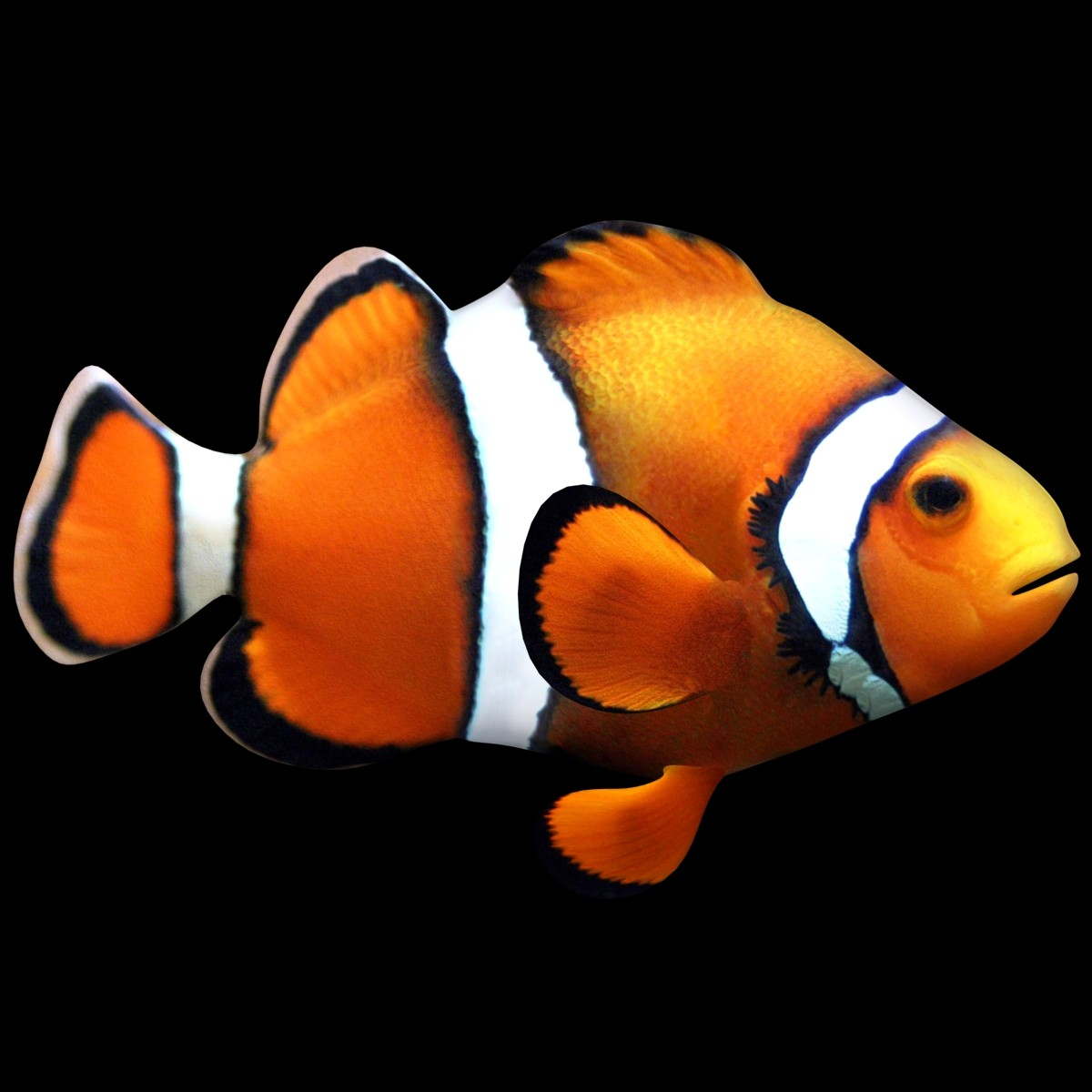 Max clownfish scanline for Clown fish for sale