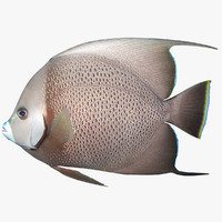3d model gray angelfish