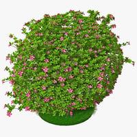maya azalea bush