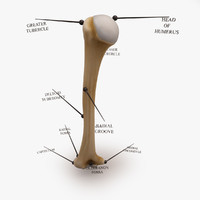 3ds max humerus arm bone anatomy