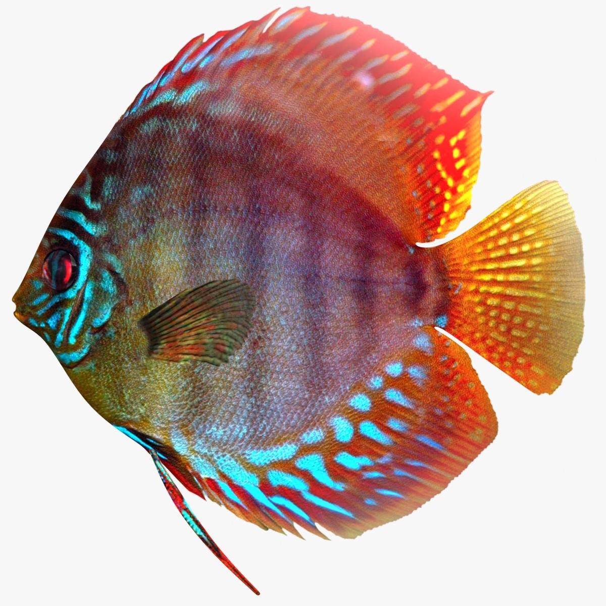 Discus_fish_Rr-01.jpg