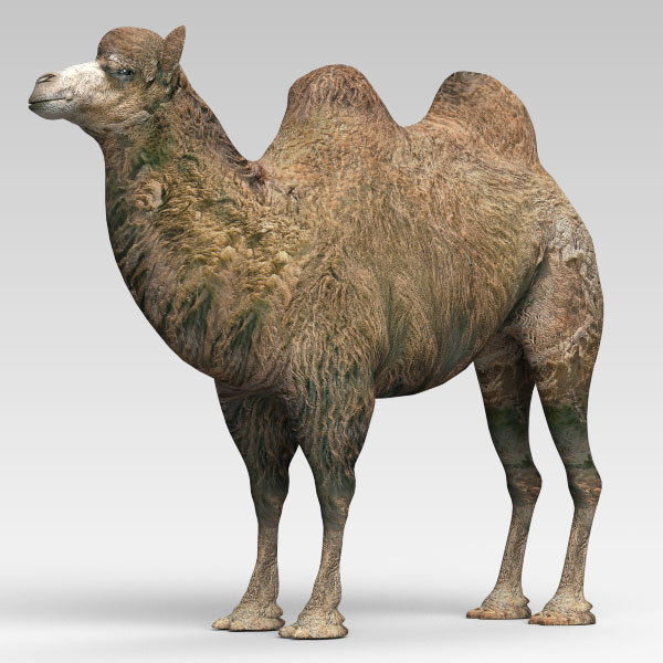 Camel2_02.jpg