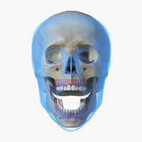 3d model of animatable skull teeth human