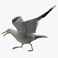 larus californicus california gull animation 3d model