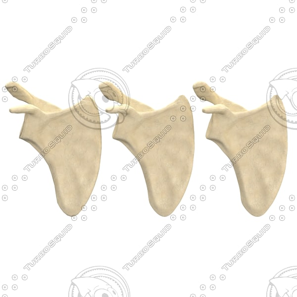 scapula bone 3d max