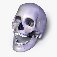 3d model human skull separated bones anatomy