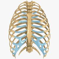 human rib cage 3d model