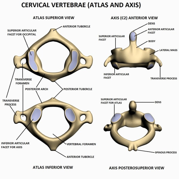 Atlas bone anatomy