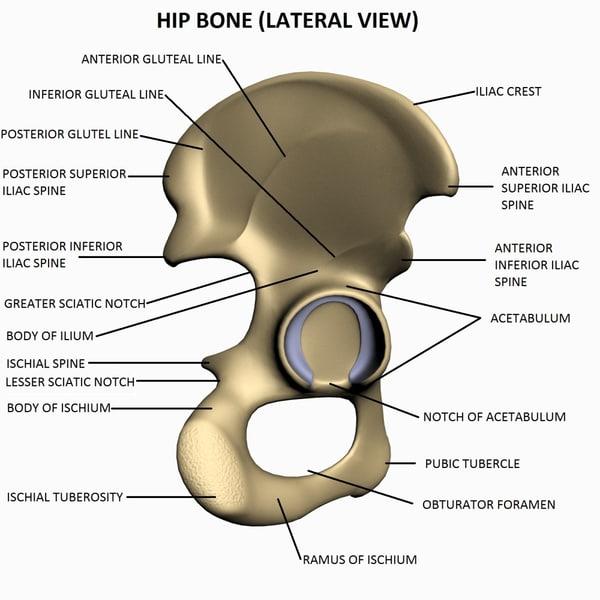 Maya Thorax Bones Anatomy