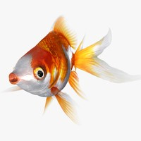 3d model ryukin goldfish animation rigged