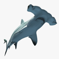 ma hammerhead shark
