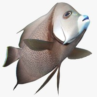 gray angelfish animation 3d fbx