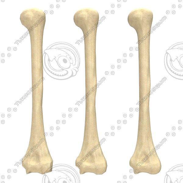 3ds max humerus bone - Humerus Bone... by joXit