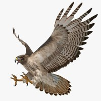 3d buteo jamaicensis red-tailed hawk