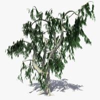 3d model realistic acacia tree
