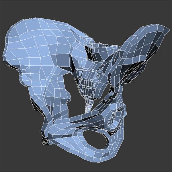Female Pelvis Max