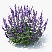 meadow sage salvia nemorosa 3d model